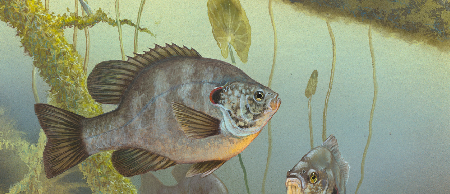 extract of picture of redear sunfish